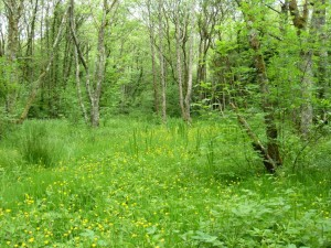 Alluvial Woodland at Ballyseedy Wood, Co. Cork, photo by BEC Consultants
