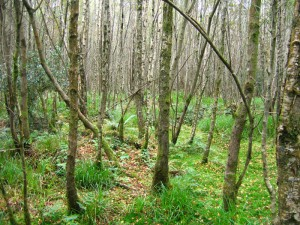 Birch woodland (Betula pubescens) at Ballygannon, Co. Wicklow, photo by Philip Perrin