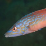 Cuckoo wrasse (Labrus mixtus) Photo by Louise Scally