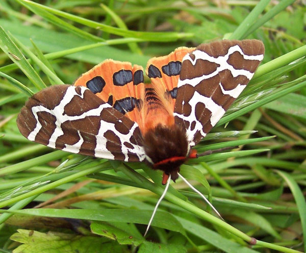 Garden tiger moth (Arctia caja) Photo by Fiona Devaney