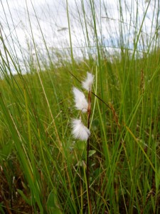 Eriophorum gracile (a rare species of bog cotton), Co. Westmeath, photo by Simon Barron