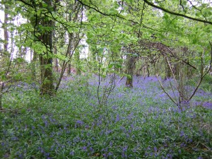 Bluebells (Hyacinthoides non-scripta) at Clonlost Wood, Co. Westmeath, photo by Edwina Cole