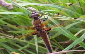 Four-spotted chaser dragonfly (Libellula quadrimaculata), photo by Fiona Devaney