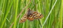 Marsh Fritillary thumbnail