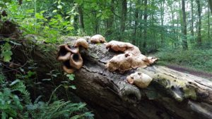 Dead wood and associated fungi at Desart, Co. Kilkenny. Photo: Orla Daly.